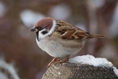 Tree Sparrow by Kevin B Agar, via Flickr