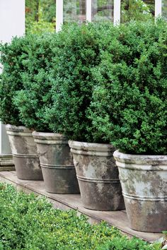 Count on these handsome shrubs to fill your containers with style.