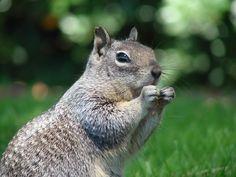 Nibbles #squirrel