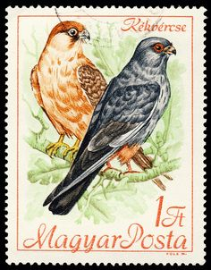 Falco vespertinus, Hungary, 1968