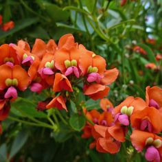 Australian Seed - KENNEDIA coccinea