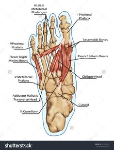 Anatomy Of Leg And Foot Anatomy Of Leg And Foot Human Muscular And Bones System Stock