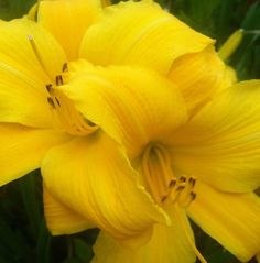 Yellow Lily Photograph by Saribelle Rodriguez - Yellow Lily Fine Art Prints and Posters for Sale