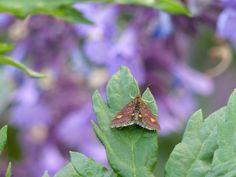 muntvlindertje. tuin - Schiermonnikoog