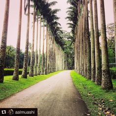 Palm Trees Lined Up Tall on Either Side of the Road at Peradeniya Botanical Gardens. Post by @aalmuashi Repost with #stockphotolk Sign up on www.stockphoto.lk and convert your creativity into revenue! .  #kandy #nature #photography #professional #botanical #Peradeniya #garden #royal .  #photo #photography #travelgram #travelpics #travelporn #traveldiary #travelawesome #travelblogger #travelphotography #travelisthenewclub #wanderlust #igers #igtravel #netgeo #travelsrilanka #exploresrilanka…