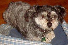 Lost Dog - Poodle - San Antonio, TX, United States 78228