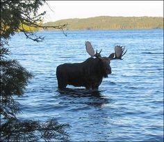 Boundary Waters MN I've never see a moose! Moose Hunting, Big Game Hunting, Minnesota Camping, Ely Minnesota, Alaska, Moose Pictures, Columbus Zoo, Deer Family, Mundo Animal