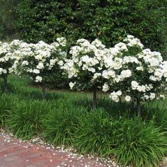 Flower Carpet White standards underplanted with Snow Storm agapanthus