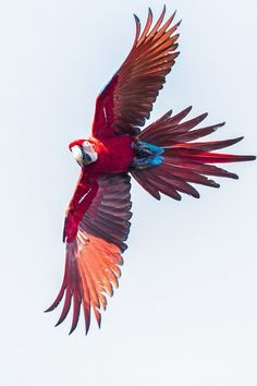 How gorgeous are birds in flight? #macaws #parrots #birds #colorfulbirds