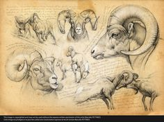 n°51-bighorn-sheep