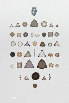 Arte con diatomeas, geométricos cuadros que no llegan al milímetro de ancho