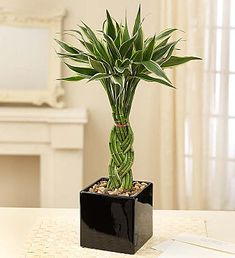 Indoor Bamboo Plant, Lucky Bamboo Plants, Indoor Plants, Bamboo House Plant, Best Plants For Bedroom, Bedroom Plants, Buy Plants, Cool Plants, House Plants Decor
