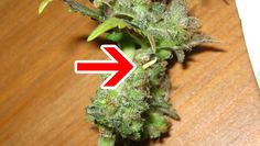 """A cannabis bud with a hermie banana (""""nanner"""") which is often the result of  heat or other stress during the flowering stage. However, it can also be caused by genetics."""