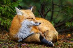 https://flic.kr/p/Aqengq | Getting comfortable | The fox finding a nicer place to rest in Algonquin