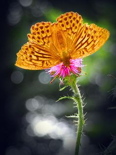 the  butterfly-flower;-)