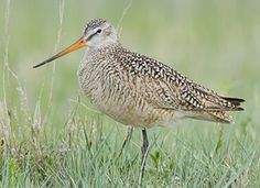 Marbled Godwit, Identification, All About Birds - Cornell Lab of Ornithology