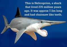 """Helicoprion is a long-lived genus of extinct, shark-like fish. Almost all fossil specimens are of spirally arranged clusters of the individuals' teeth, called """"tooth whorls."""" They became extinct during the Early Triassic, 250 million years ago. Underwater Creatures, Underwater Life, Ocean Creatures, Orcas, Extinct Animals, Unbelievable Facts, Prehistoric Creatures, Marine Biology, Shark Week"""
