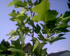 Tulip tree planted earlier this year 7-2014