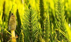 Cavalinha – O que é, Para que serve e Benefícios do chá Free Pictures, Free Photos, Tendinitis, Fern Plant, Mother Plant, Wound Healing, Healing Power, Naturopathy, Drying Herbs