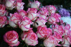 pink & white roses | Paul Militaru