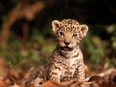 baby Jaguar, Colombia so cute