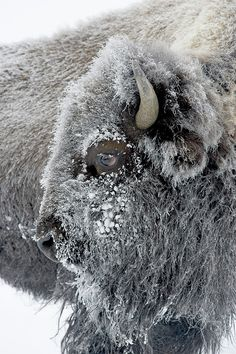 "yourstrulyfranca: "" mysleepykisser-with-feelings-hid: "" Bison in winter Photos by Evangeline Chavez, TOM MURPHY "" "" Beautiful Creatures, Animals Beautiful, Cute Animals, Wild Animals, Nature Animals, Beautiful Boys, Funny Animals, Wildlife Photography, Animal Photography"