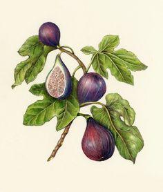 fig leaves botanical illustration