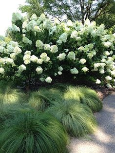 Limelight Hydrangea and Silk Tassels grass.  Takes full sun to part shade.  Beautiful combination!