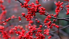 Risultati immagini per red berries Flower Images Hd, Flower Photos, Nature Water, All Nature, Nature Plants, Water Pictures, Free Pictures, Fukuoka, Berry