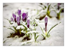 Spring Has Sprung, Rubrics, Home And Garden, Herbs, Color, Snow, Black, Winter, Flowers