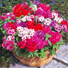 Good 100pcs/bag Phlox Plants,Phlox Seeds Phlox Flowers Bonsai Flower Seeds 10  Colors Potted