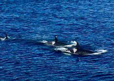 Orcas in the pass, following the ferry ⛴. Traveling to work British Columbia style off of Vancouver Island. Photograph by Jeanette Gault September 11, 2017