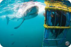 Google Image Result for http://www.diveschoolcapetown.co.za/assets/Theo/Theo-Website-building/Shark-Cage-Diving/_resampled/resizedimage350233-Shark-3.png