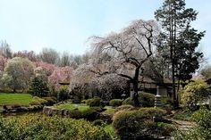 Sakura Festival by Tom Ipri, via Flickr