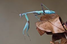 AFRICAN MANTIS- The Namib Desert in South Africa is home to many peculiar forms of wildlife. The n...
