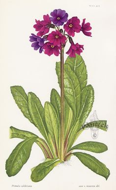 Polyanthus | William Curtis Botanical Prints from Curtis Botanical Magazine 1948 and After