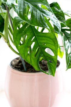 Monkey Monstera Mask Vermehren und Ableger einpflanzen Die Monkey Monstera Mask ist eine super beliebte Pflanze! In diesem Beitrag möchte ich euch zeigen, wie ihr die Monkey Monstera vermehrt, worauf ihr bei der Pflege achten solltet. Was die Ableger so brauchen und wo ihr euch eine Monkey Monstera Mask kaufen könnt. Monkey Mask, Monstera Deliciosa, Plant Leaves, Green, Plants, Diy, Inspiration, Potting Soil, Handy Tips