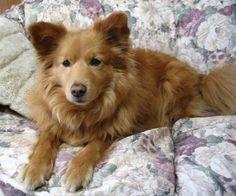 american eskimo dog brown | Zoe Fans Blog