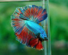 Betta Fish Types, Beautiful Sea Creatures, Beta Fish, Siamese Fighting Fish, Halfmoon Betta, Colorful Animals, Exotic Fish, Amazing Nature, Aquarium