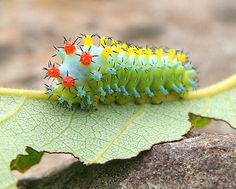 CECROPIA MOTH CATERPILLAR Community Post: 17 Animals That Are Ready For A Dubstep Show