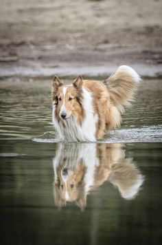 1000+ images about Collies on Pinterest | Scotch collie ...
