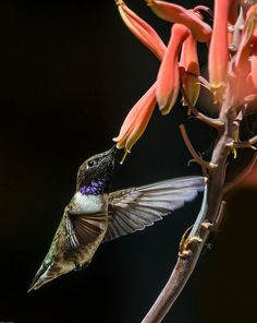 Black-Chinned Hummingbird; photo by Guy Schmickle
