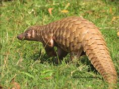 BUD: Pictures of Pangolin HD,  Cool Wallpapers 1600×900 Pangolin Images Wallpapers (42 Wallpapers) | Adorable Wallpapers