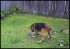 He knew exactly what he was doing... smart dog gif