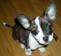 Herman the French Bullhuahua, shown here as an 8 week old puppy.