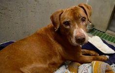 Cão idoso que é surdo e tem câncer finalmente é adotado - Portal do Dog