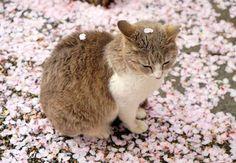 積もった桜の花びらの上で、くつろぐニャンコに癒されると、Twitterで話題になっています。 桜とニャンコは最高の組み合わせ! この写真を投稿しているのは、nori(@nori22)さん。 積もってる pic.twitt []