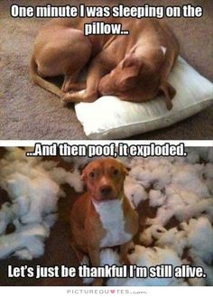 One minute I was sleeping on the pillow... and then poof, it exploded. Let's just be thankful I'm still alive. Funny dog quotes on PictureQuotes.com.