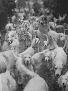 Lady Curre's Foxhounds, 1951. By Norman Parkinson.