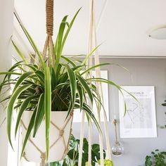 Mooie graslelie  Iemand een idee hoe je deze stekt? Al twee stekjes hebben het begeven bij me.  . #chlorophytum #graslelie #plant #plants #plantsofinstagram #plantlife #plantlove #plantlover #greenthumb #urbanjungle #urbanjunglebloggers #groeninhuis #groenevingers #interior #interiordesign #interior4all  #witwonen #interieur #interieurinspiratie #elho #myelho #plantcollector #plantcollection #plantlady #homeplant #planthoarder   Content shared via elho Inspiration Gallery